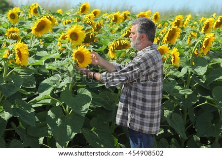 Farmer or agricultural expert inspecting quality of sunflower in field