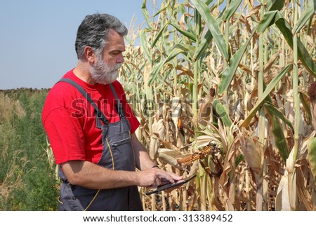 Farmer or agronomist examine damaged corn plant in field using tablet, harvest time - stock photo