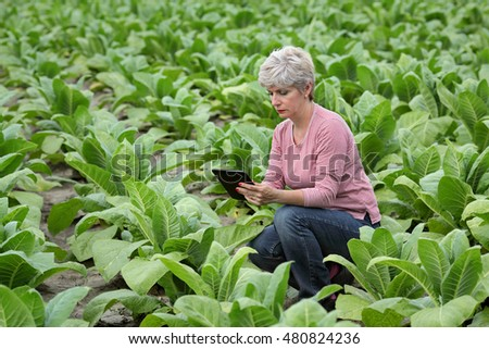 Farmer or agronomist examine tobacco plant  field using tablet