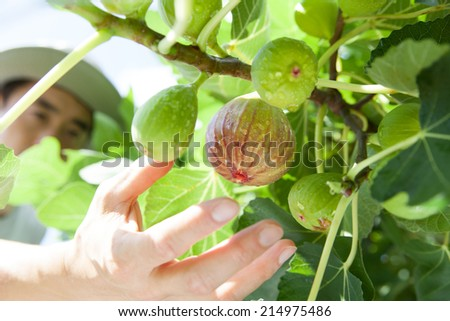 farmer picking fig - stock photo