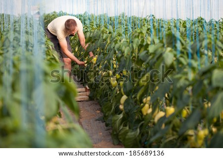 Farmer picking ripe bell peppers in a greenhouse - stock photo