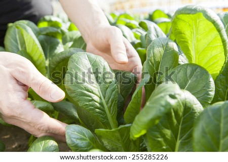 farmer picking vegetable - stock photo