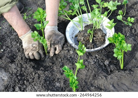 farmer planting a celery seedling in the vegetable garden