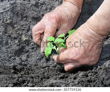 farmer planting a tomato seedling in the vegetable garden - stock photo