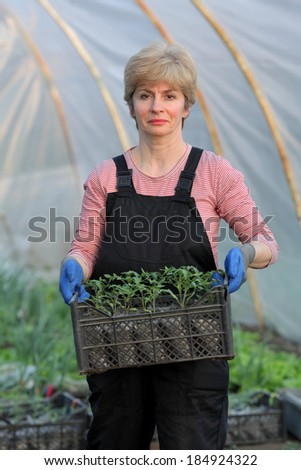 Farmer planting tomato seedlings in a greenhouse, real people no retouch