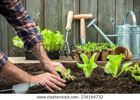 Farmer planting young seedlings of lettuce salad in the vegetable garden. Vegetable Garden Stock Images  Royalty Free Images   Vectors