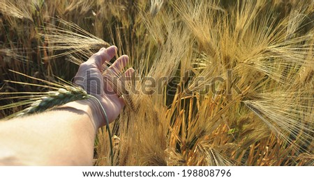 Farmer's hand touching barley in beautiful golden light, agricultural scene - stock photo