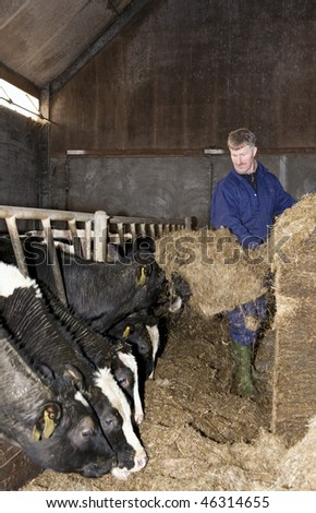 Farmer shoveling hay with a pitchfork, feeding the cattle in a stable - stock photo