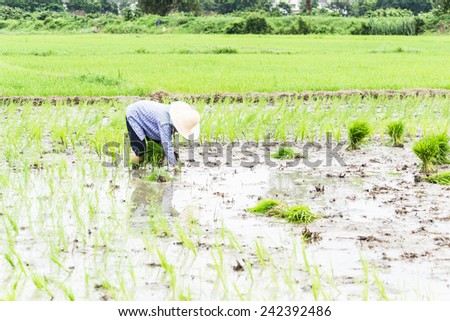 Farmer sow rice on paddy field, they transplant rice seeding on muddy plantation of agricultural country - stock photo
