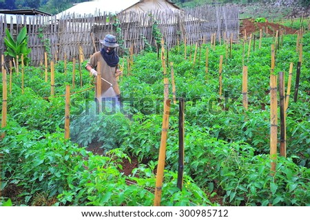 Farmer spraying pesticide on rice chiilli field.  - stock photo