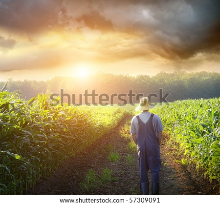Farmer walking in corn fields with beautiful sunset - stock photo