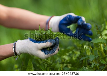 Farmer woman's hands picking fresh nettle leaves with protection gloves - stock photo