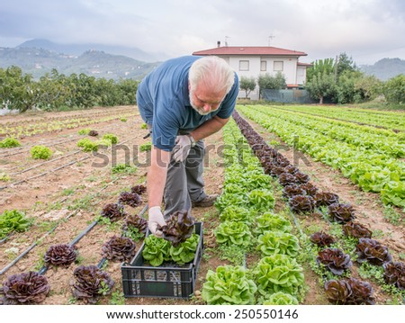 Farmer working at cabbage field. - stock photo