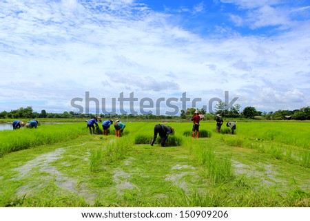 farmer working rice plant  in farm of Thailand