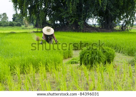Farmers are harvesting rice in Thailand. - stock photo