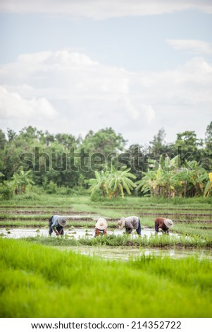 farmers are working in a paddy field
