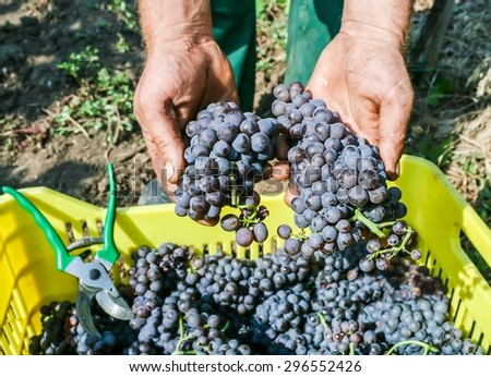 Farmers hands with freshly harvested production of black grapes - stock photo