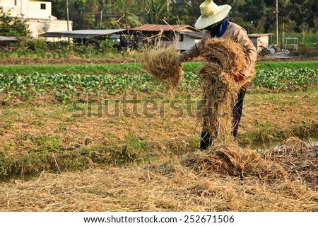 Farmers mulching plants with straw to help conserve moisture - stock photo