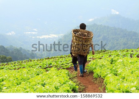 Farmers on cabbage field. - stock photo