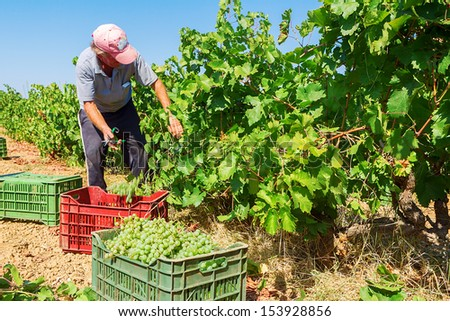Farmers picking wine grapes during harvest at a vineyard, shallow dof - stock photo