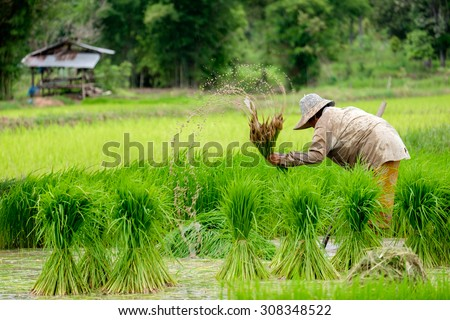 farmers rice working,Central Rain,movement at work,motion blur s