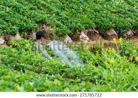 Farmers watering in the garden strawberry at Doi Ang Khang, Chiang Mai of Thailand.