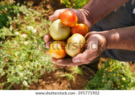 Farming and cultivations in Latin America. Middle aged hispanic farmer holding red and green tomatos in his hands, showing them to the camera. - stock photo