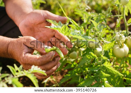 Farming and cultivations in Latin America. Middle aged hispanic farmer in a tomato field, showing a bug that affects the plant to the camera. Closeup of hands - stock photo