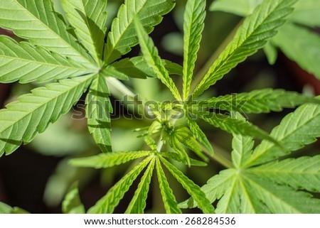 Farming Marijuana plants, home plants. Green Drug. - stock photo