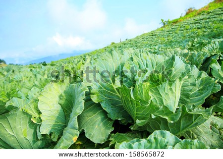 Farmland cultivated cabbage. - stock photo