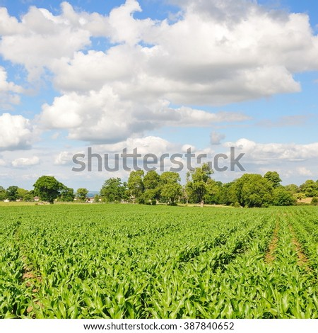 Farmland View of Green Crops in a Field with a Beautiful Blue Cloudy Sky Above - stock photo