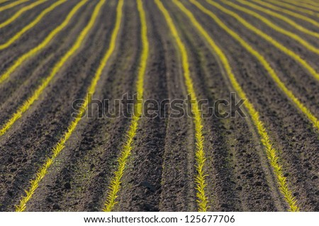 Farmland with rows of young green corn plants - stock photo