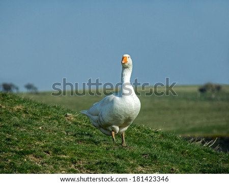 Farmyard white goose in field on South Downs in Sussex - stock photo