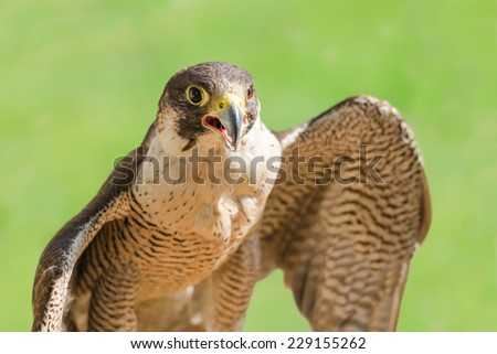 Fast bird predator accipiter or peregrine with spread wings and open beak against green grass background - stock photo