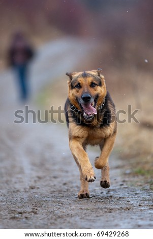 fast running german shepherd dog - stock photo