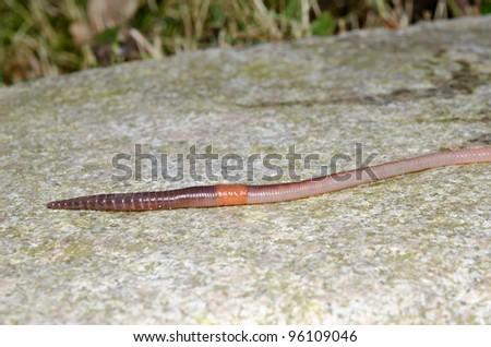fast worm macro (earthworm on paving) - stock photo