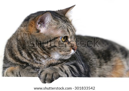 Fat Bengal cat with empty board look to the right. isolated on white - stock photo