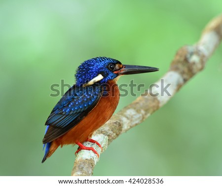Fat blue bird perching on the branch on fine green blur background, the male of Blue-eared kingfisher (Alcedo meninting)