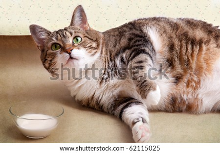 Fat Cat lying on floor with milk bowl - stock photo