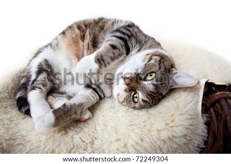 Fat Cat lying on Lamb skin in different funny poses