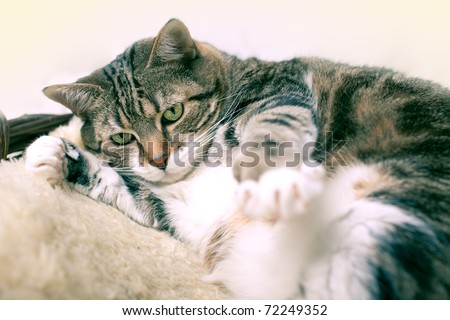 Fat Cat lying on Lamb skin in different funny poses - stock photo