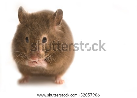 Fat cute brown hamster isolated on white with copy space