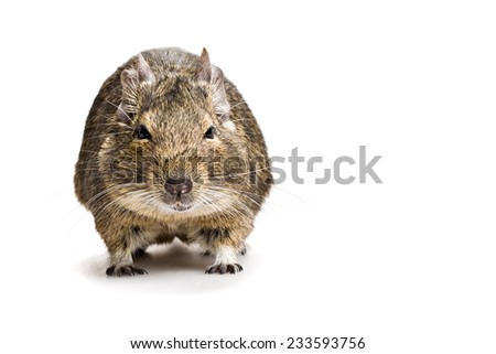 fat hamster full-length front view isolated on white background