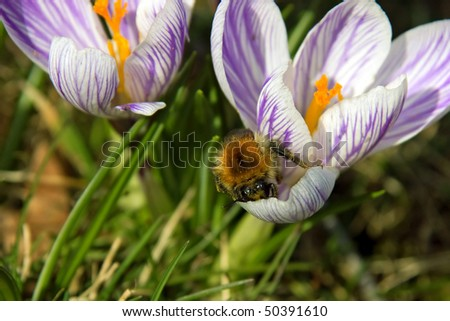 Fat insect searches head over heels for nectar in a blue crocus blooming in spring - stock photo