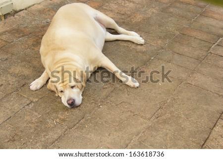 Fat labrador retriever sleep on floor - stock photo