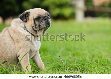 Fat pug dog sitting on grass.