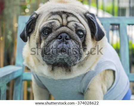 Fat pug dog sitting on wooden table with outdoor background.