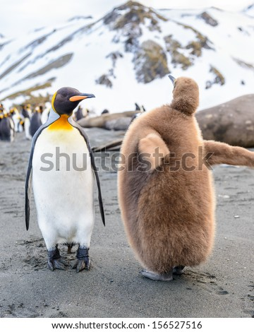Father and a child of King Penguin (Aptenodytes patagonicus) - stock photo
