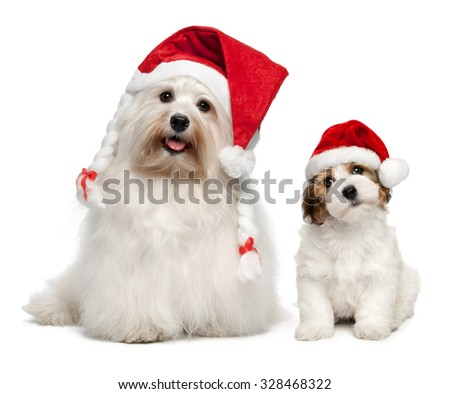 Father and son Bichon Havanese dogs in Christmas hats. Isolated on a white background