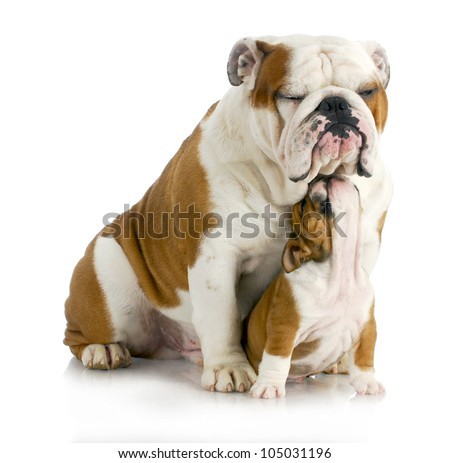 father and son dogs - two english bulldogs sitting on white background - stock photo